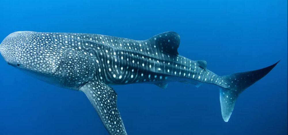 Balina köpek balığı heyecana yol açtı