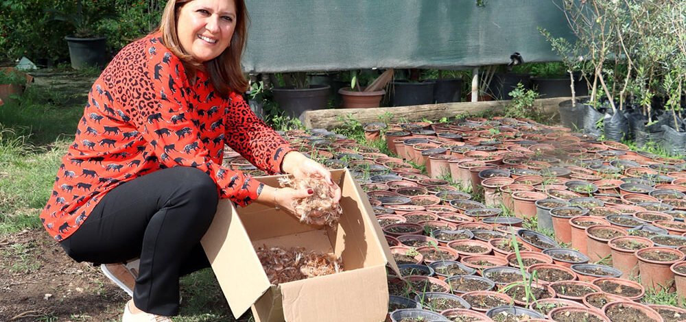 Safran soğanları ücretsiz dağıtılıyor!